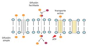 transporte_de_membrana-8175626