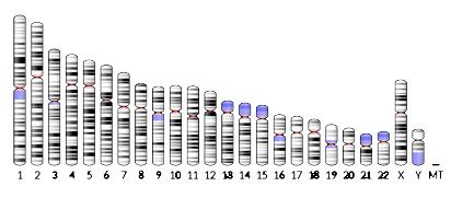 human_chromosome-1167505